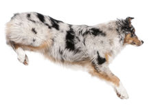 Australian Shepherd dog jumping, 7 months old Royalty Free Stock Photo