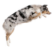 Australian Shepherd dog jumping, 7 months old Royalty Free Stock Photos