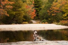 Australian Shepherd dog jumping into lake with autumn folliage stock image