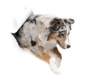 Australian Shepherd dog jumping out of white paper Royalty Free Stock Photo