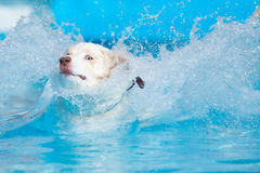 Australian Shepherd Dog Jumping Into Water. An Australian Shepherd jumps into the water while keeping one eye on the camera Royalty Free Stock Photography