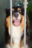 Australian shepherd dog in the kennel Royalty Free Stock Photography