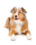 Australian Shepherd Dog Laying Looking To The Side Stock Images