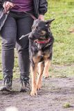 Australian shepherd dog living in Belgium stock photos