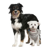 Australian Shepherd dog and Maltese dog. 3 and a half and 11 years old, in front of white background Stock Photos