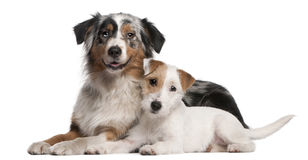Australian Shepherd dog and Parson Russell Terrier royalty free stock image