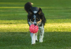 Australian Shepherd dog playing Royalty Free Stock Photography
