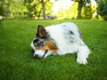 Australian Shepherd dog. Playing on the grass Stock Photo