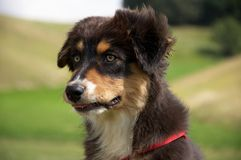 Australian Shepherd dog portrait Royalty Free Stock Images