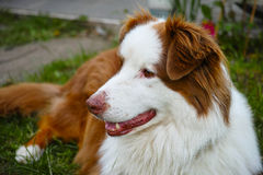 Australian Shepherd dog portrait Royalty Free Stock Photos