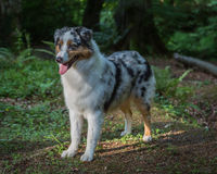 Australian Shepherd Dog Royalty Free Stock Photos