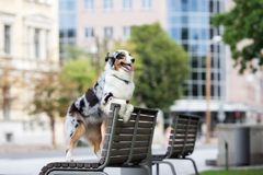 Australian shepherd dog posing outdoors Stock Photography