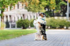 Australian shepherd dog posing in the park Stock Photos