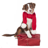 Australian shepherd dog with red scarf and gift Royalty Free Stock Photography