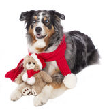 Australian shepherd dog with red scarf and teddy bear Royalty Free Stock Photos