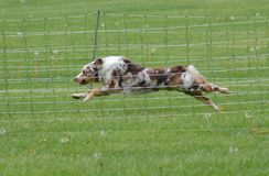 Australian Shepherd Dog running inside the fenced. Australian Shepherd dog`s coats come in various colors and patterns Stock Images
