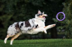 Australian shepherd dog running in the park. Happy australian shepherd dog running outdoors Royalty Free Stock Image