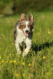 Australian shepherd dog running in summer grass Stock Photos