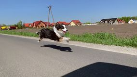 Dog running fast on road. Australian Shepherd dog running very fast on asphalt road with blue sky and with green field in background. Happy young Aussie having stock footage