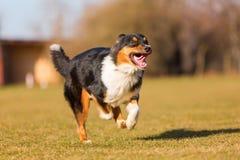 Australian Shepherd dog runs on the meadow Stock Photo