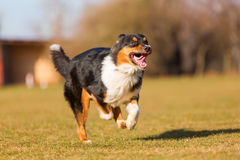 Australian Shepherd Dog Runs On The Meadow