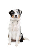 Australian shepherd dog Stock Images