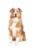 Australian Shepherd Dog Sitting Royalty Free Stock Photography