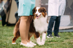 Australian Shepherd Dog Standing Near Woman In Green Grass. Ausside. Funny Red And White Australian Shepherd Dog Standing Near Woman In Green Grass. Aussie Is A Stock Photography