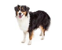 Australian Shepherd Dog Standing Royalty Free Stock Photos