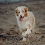 Australian shepherd dog stay on the road near the field royalty free stock image