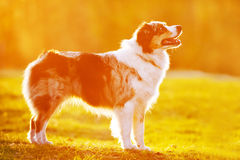 Australian shepherd dog in sunset light Royalty Free Stock Images