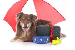 Australian shepherd dog with travel kit Royalty Free Stock Images