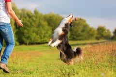 Australian Shepherd dog tries to catch a ball Royalty Free Stock Photos