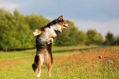 Australian Shepherd dog tries to catch a ball Stock Photo
