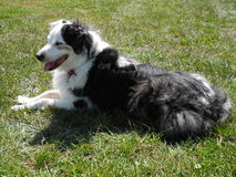 Australian Shepherd Dog Royalty Free Stock Photography