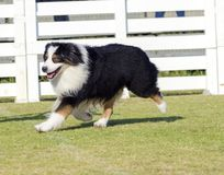 Australian Shepherd dog Royalty Free Stock Photography