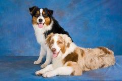 Australian Shepherd dogs. 2 beautiful Australian Shepherd dogs on blue mottled background Royalty Free Stock Photo