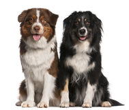 Australian Shepherd dogs. 3 years old and 18 months old, sitting in front of white background royalty free stock images