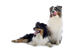 Australian Shepherd dogs. Close up of two Australian Shepherd dogs, isolated on white background Royalty Free Stock Images