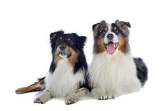 Australian Shepherd dogs. A view of two black, brown and white Australian Shepherd dogs, sometimes called Aussies, laying next to each other.  Isolated on white Royalty Free Stock Photo