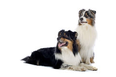 Australian Shepherd dogs. Close up of two cute Australian Shepherd dogs sat together, isolated on white background Royalty Free Stock Photos