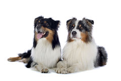 Australian Shepherd dogs. Close up of two Australian Shepherd dogs lying on ground side by side, isolated on white background royalty free stock photography