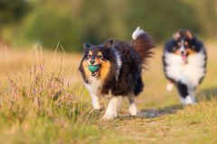 Australian Shepherd Dogs Playing On A Country Path Stock Images