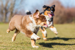 Australian Shepherd Dogs Running On The Meadow