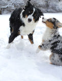 Australian shepherd dogs in snow. Blue merle and black tricolor Australian shepherd dogs playing in winters snow royalty free stock photos