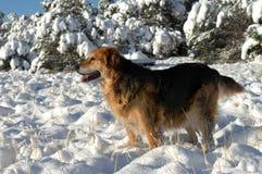 Australian Shepherd Enjoys Snow Stock Images