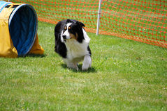 Australian Shepherd Exits Tunnel. Purebred australian shepherd exits a tunnel while running on a dog agility course Royalty Free Stock Photography