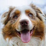 Australian Shepherd face Stock Photos