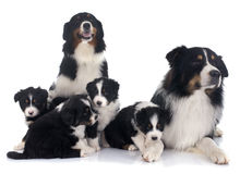 Australian shepherd family Royalty Free Stock Photos