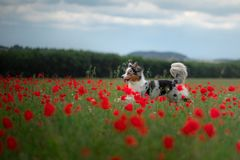 Australian Shepherd in a field of poppies. Dog playing in the flower meadow. stock photography